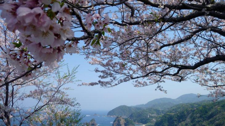 天草の桜開花状況2019年