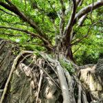 今話題 ラピュタの木