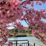 河津桜満開…春はすぐそこ