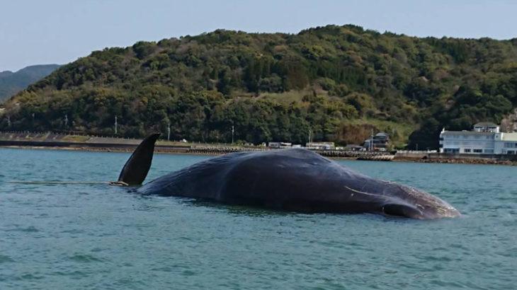 本渡港沖にクジラ座礁が話題