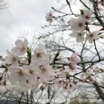 天草の桜開花状況|2020年