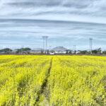 黄色い〝じゅうたん〟上天草市で菜の花見頃 3日「立春」