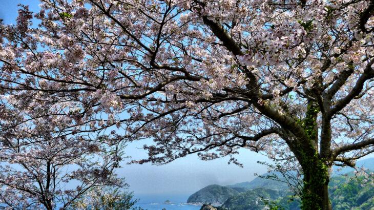 天草桜の名所 十三仏公園付近